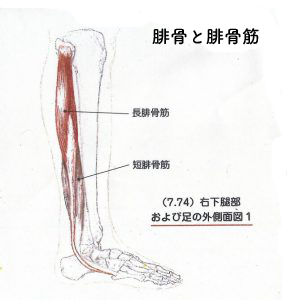 腓骨と腓骨筋
