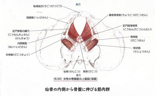 仙骨の内側から骨盤に伸びる筋肉群